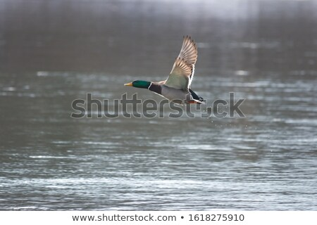 male mallard duck flying over frozen river Stock photo © taviphoto