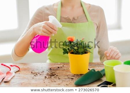 Gradinar mâini ghiveci de flori trandafir grădinărit Imagine de stoc © dolgachov