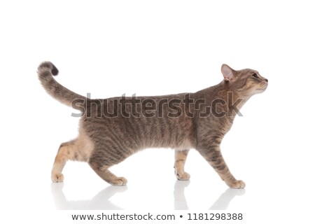 side view of adorable grey metis cat standing  Stock photo © feedough