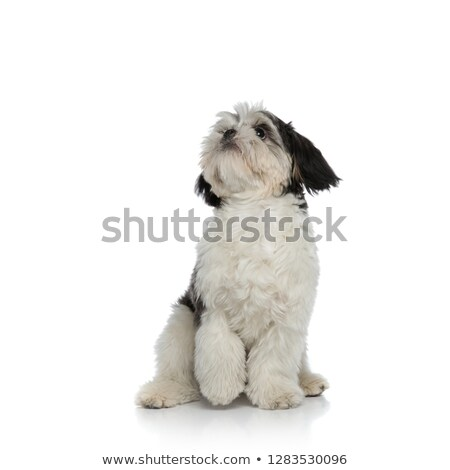 seated black and white shih tzu looks up to side Stock photo © feedough