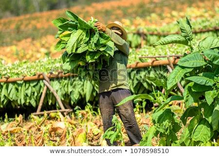 Agriculteur tabac domaine floraison usine vert Photo stock © simazoran