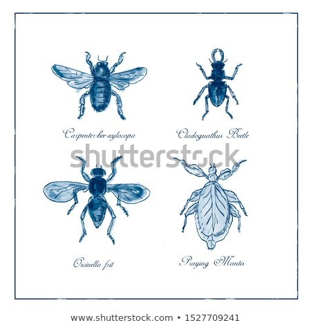 Carpenter Bee, Beetle, Oscinella Frit and Praying Mantis Vintage Collection Stock photo © patrimonio