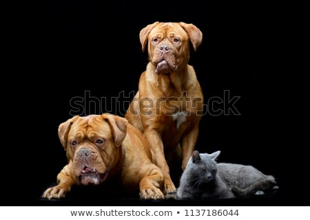 2 愛らしい ボルドー 飼い猫 孤立した ストックフォト © vauvau