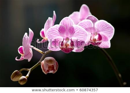 Gyönyörű · orchidea · virágok · hát · napfény · trópusi - stock ...