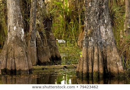 Ibis and Cypress Trees in Everglades, Florida stock photo © mtilghma