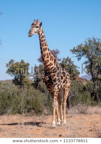 цвета иллюстрация Африка животные ткань жираф Сток-фото © Galyna