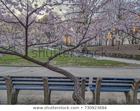Early spring cherry flowers. Stock photo © lithian