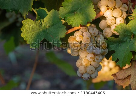 Riesling grapes Stock photo © Hofmeester