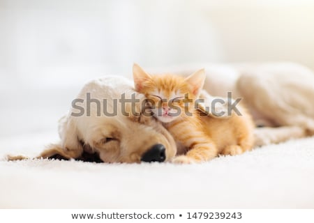 Hond kitten oranje golden retriever baby kat Stockfoto © simply