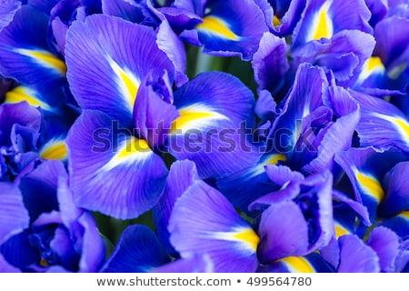 Sötét lila írisz virág gyönyörű Stock fotó © ca2hill