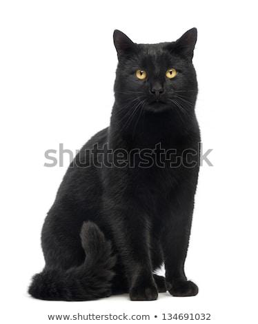 Gato preto isolado branco gato cabelo verde Foto stock © EwaStudio