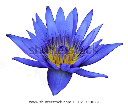 blue lotus isolate on white stock photo © lekchangply