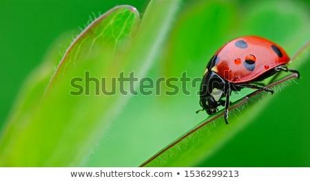 Lieveheersbeestje vergadering groen blad gras schoonheid zomer Stockfoto © ongap