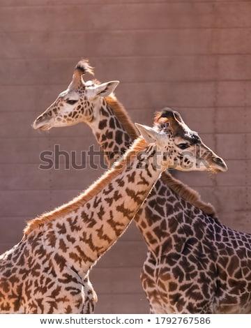 Two Giraffes Stock photo © ottoduplessis