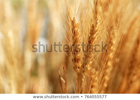 arany · árpa · fülek · mező · ragyogó · késő - stock fotó © stevanovicigor