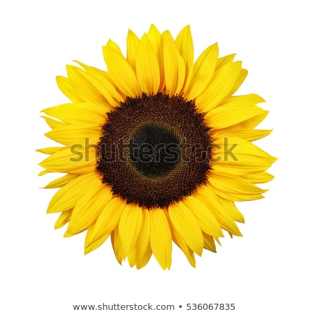Sunflower isolated  stock photo © shawlinmohd