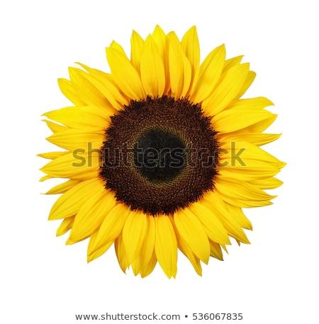 zonnebloem · geïsoleerd · voorjaar · schoonheid · zomer · oranje - stockfoto © shawlinmohd