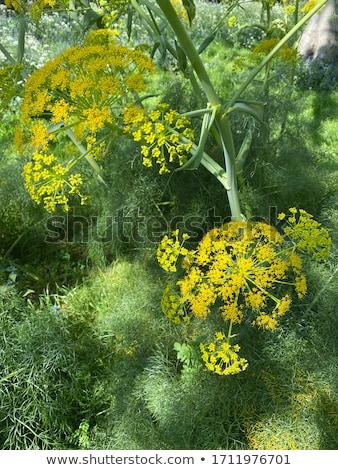 фенхель коллекция высушите зеленый рот травы Сток-фото © ziprashantzi