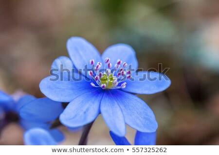 Blu fiore primo piano macro primavera legno Foto d'archivio © Anterovium