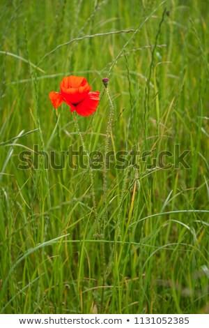 Stock photo: Lone Poppy Seed Pod