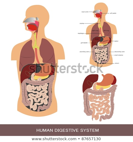 Detailed illustration of Human digestive system Stock photo © Kirill_M