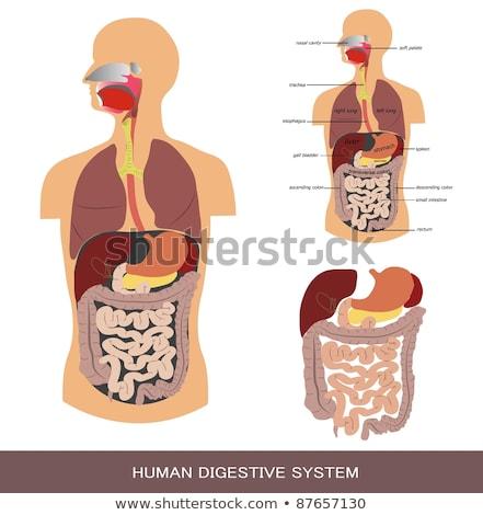3D · tıbbi · örnek · insan · sindirim · sistemi - stok fotoğraf © kirill_m