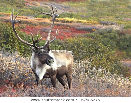 Male Caribou on Fall Tundra, Alaska Range Stock photo © jeffmcgraw