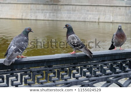 group of pigeon sitting on fence Stock photo © jaffarali