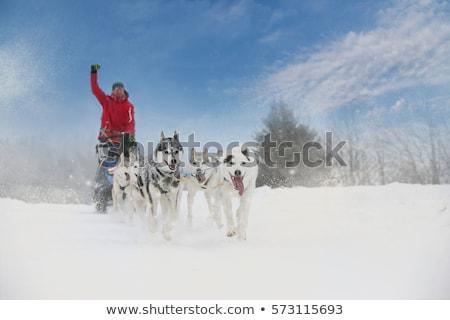 Slitta lungo Repubblica Ceca cane sport natura Foto d'archivio © phbcz
