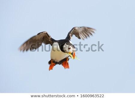 gyönyörű · ritka · madár · tenger · fekete · sziget - stock fotó © hofmeester