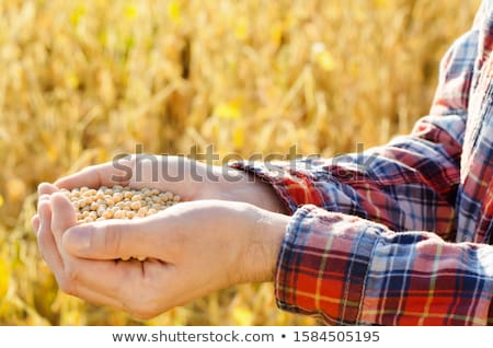 Farmer hand in harvest ready soy bean field Stock photo © stevanovicigor