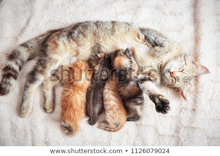 Cat breastfeeding the kittens Stock photo © H2O