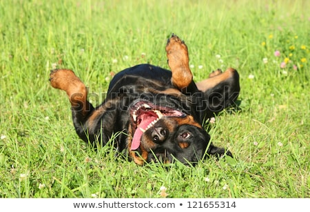 panting dog resting in the field stock photo © shevs