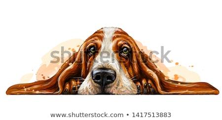 sabueso · aislado · blanco · triste · escuchar · mascota - foto stock © silense