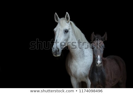 colt with the mare at sunset Stock photo © adrenalina