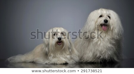 two lovely shi-tzu relaxing  in gray studio stock photo © vauvau