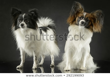 two cute papillon sitting  in dark photo studio Stock photo © vauvau