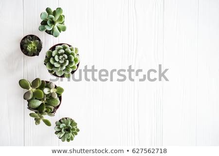 Succulente bianco uno verde impianti copia spazio Foto d'archivio © neirfy