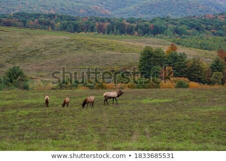 large herd of elks grazing on a meadow stock photo © courtyardpix