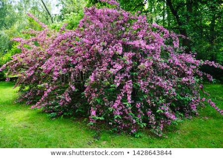 Blooming pink flower Weigela. Bee pollinated flower. Stock photo © Virgin