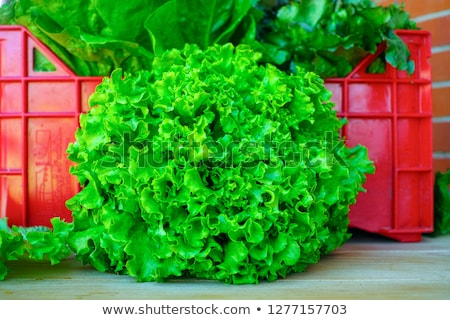Red and green lettuce growing in bed -healthy eating concept stock photo © Virgin
