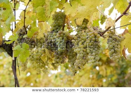 vineyard jecmeniste eko hnizdo czech republic stock photo © phbcz