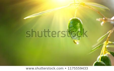 Ripe green olive fruit on branch in organic orchard Stock photo © stevanovicigor
