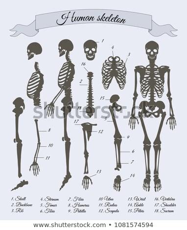 osteoporose · medische · illustratie · gezonde · bot · botten - stockfoto © robuart