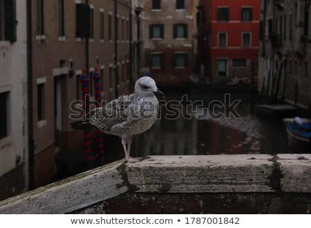 Seagull over gondolas Stock photo © Givaga