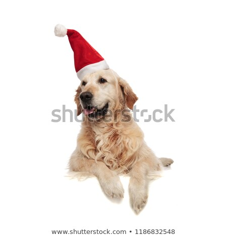 santa labrador pants and looks to side while lying Stock photo © feedough