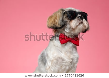 gentleman shih tzu wearing pink bowtie looks to side Stock photo © feedough