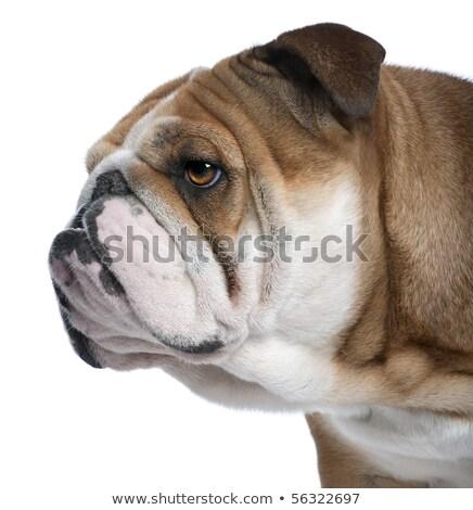 head of adorable white english bulldog looking to side Stock photo © feedough