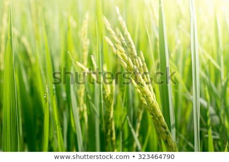 Rijp oren rijst oor plantage Stockfoto © galitskaya