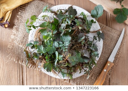 Young Herb Bennet plants with roots on a plate Stock photo © madeleine_steinbach